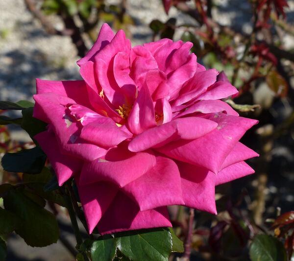 Rosa 'Lesley Johns'
