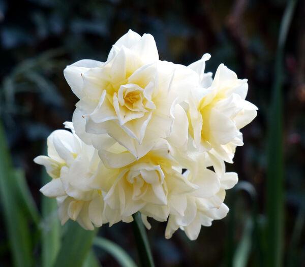 Narcissus tazetta L. 'Erlicheer'