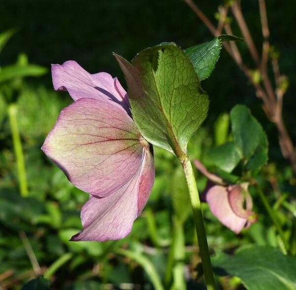 Helleborus orientalis Lam. 'Ballard Hybrid'