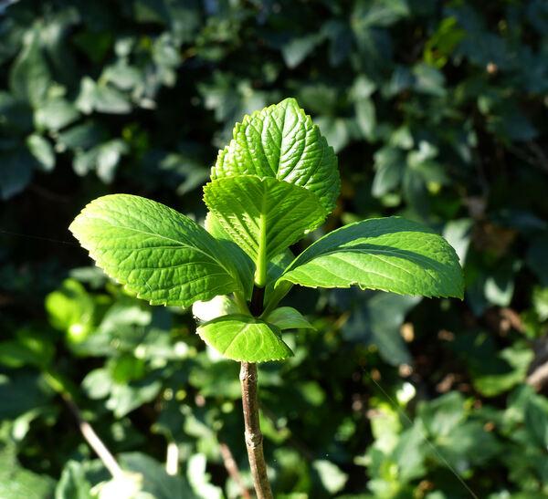 Hydrangea macrophylla (Thunb.) Ser. 'Nigra'