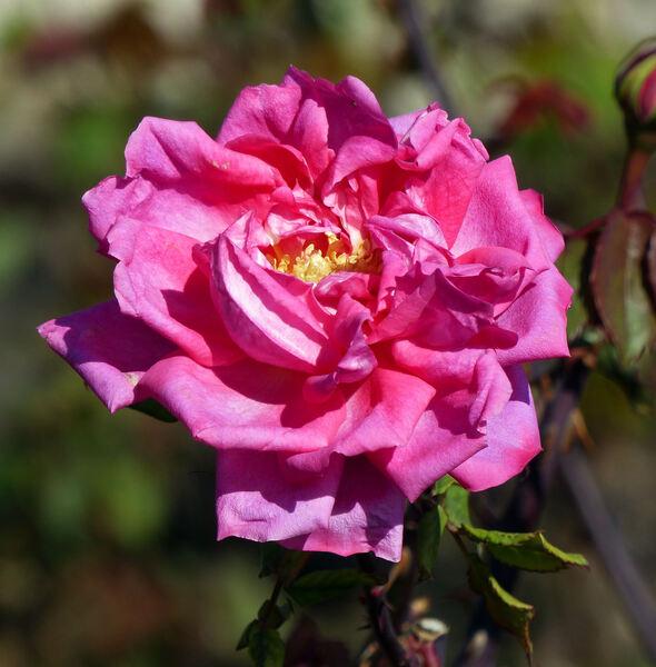 Rosa 'Riva Ligure'