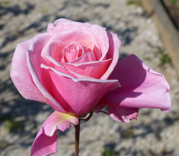 Rosa 'Century Two'