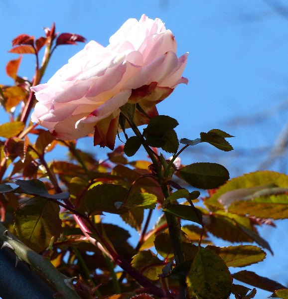 Rosa 'Harlekin'