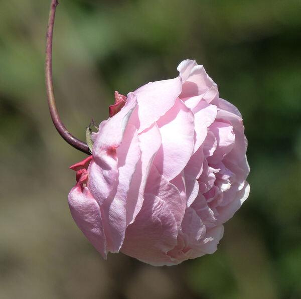 Rosa 'Lorenzo Pahissa'