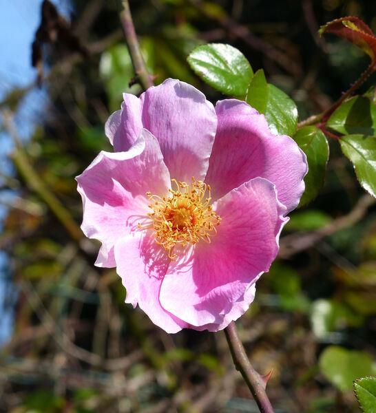Rosa x anemonoides Rehder