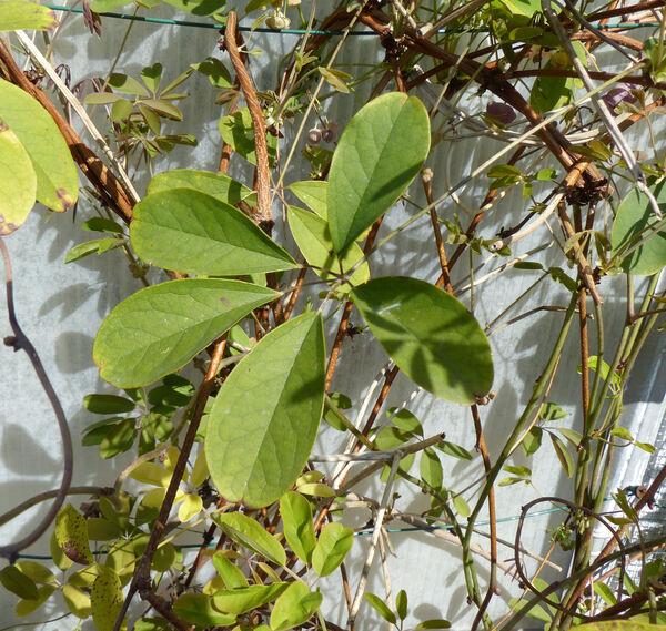 Akebia quinata (Thunm. ex Houtt.) Decne.