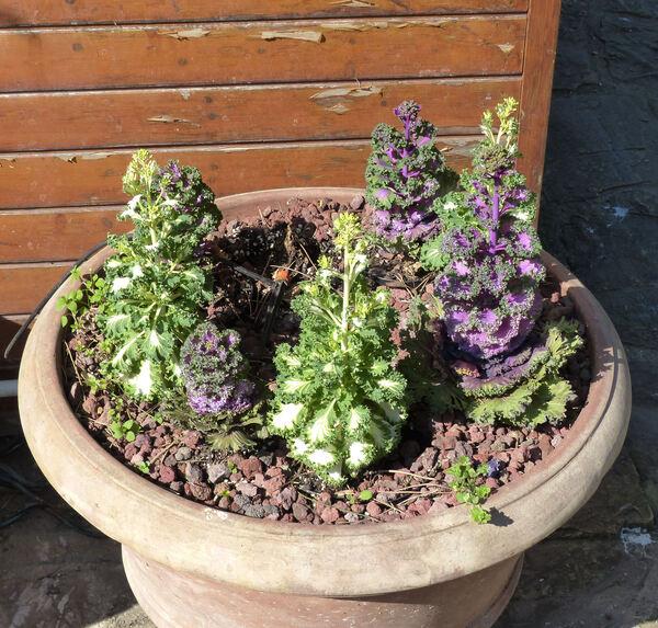 Brassica oleracea L. cultivar ornamentali