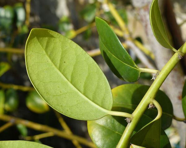 Ilex aquifolium L. 'J. C. van Tol'