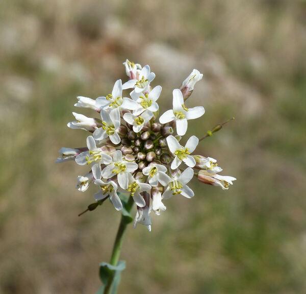 Microthlaspi perfoliatum (L.) F.K.Mey.