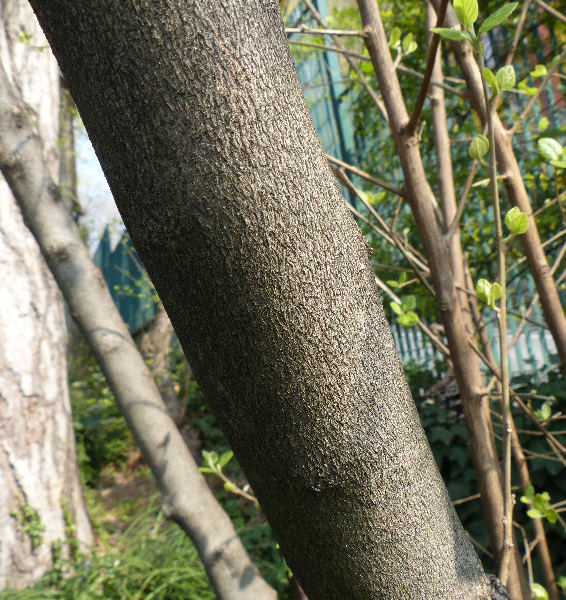 Styrax officinalis L.