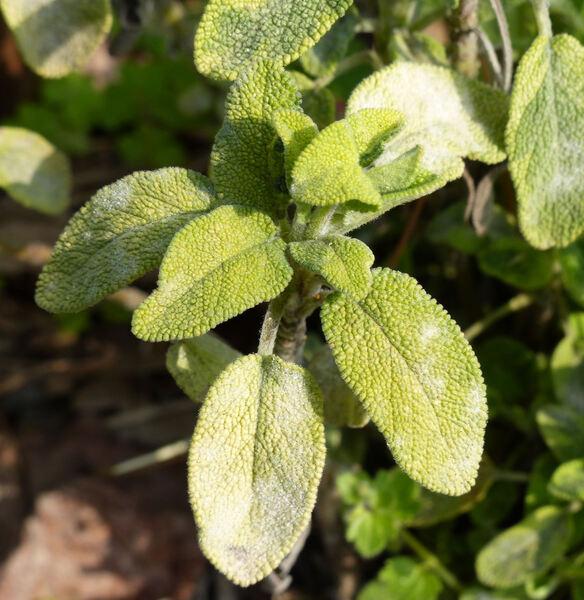 Salvia officinalis L. 'Icterina'