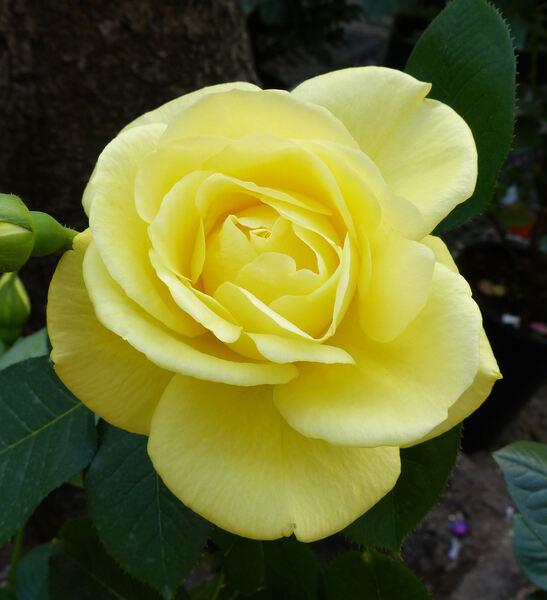Rosa 'Bernard Hinault ®'