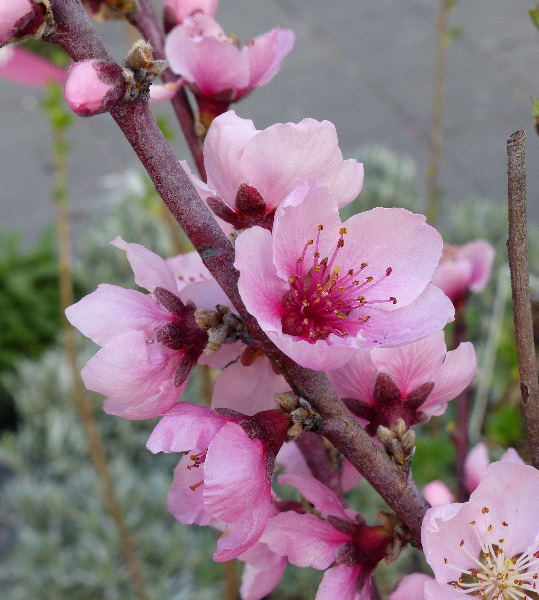 Prunus persica (L.) Batsch 'Suncrest'