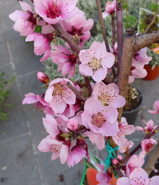 Prunus persica (L.) Batsch 'Suncrest'