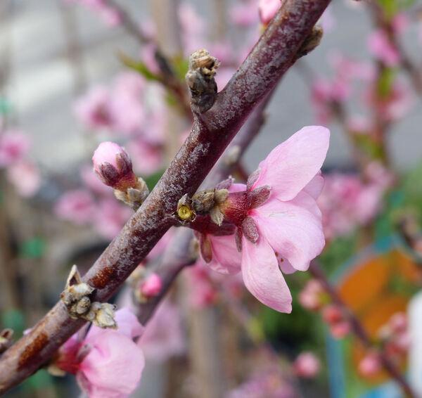 Prunus persica (L.) Batsch 'Springcrest'