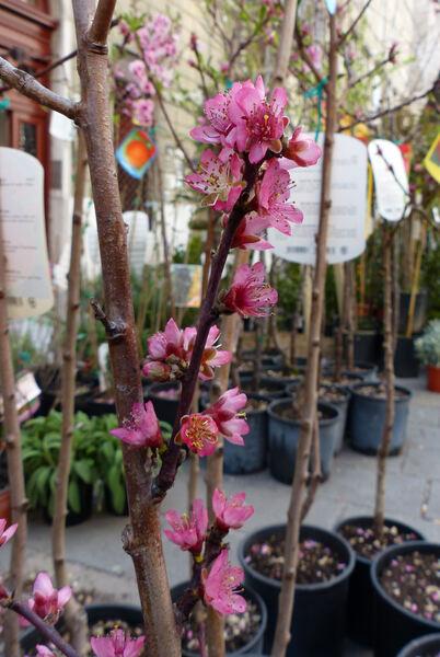 Prunus persica (L.) Batsch 'Glohaven'