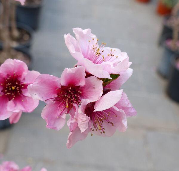 Prunus persica (L.) Batsch var. nucipersica (Borkh.) C.K.Schneid. 'Firebrite'