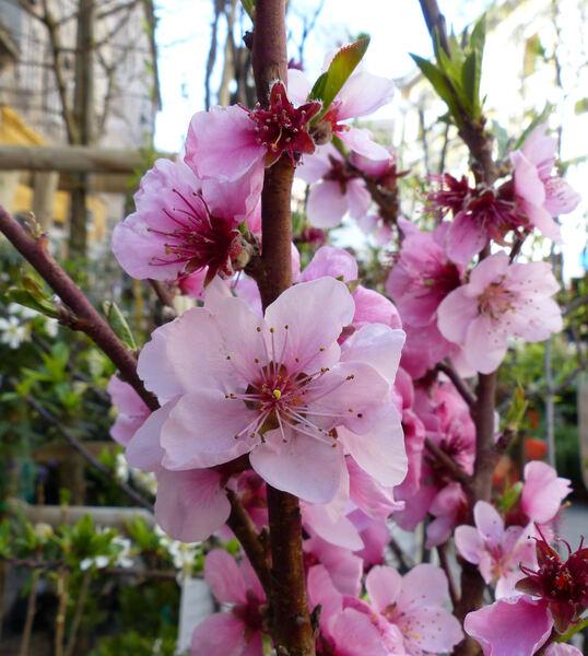 Prunus persica (L.) Batsch var. nucipersica (Borkh.) C.K.Schneid. 'May Grand'