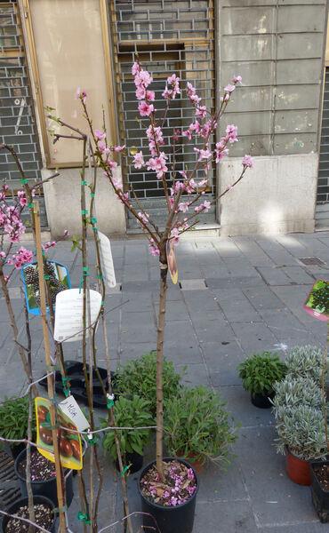 Prunus persica (L.) Batsch var. platycarpa (Decne.) L.H.Bailey 'Saturnina'