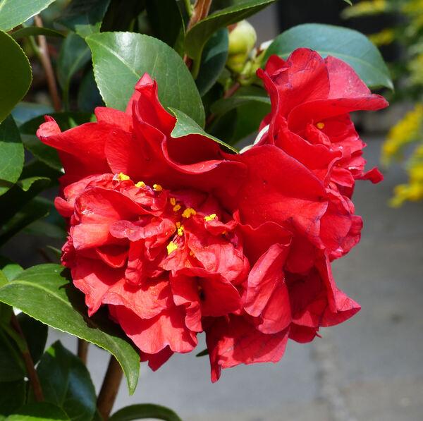Camellia japonica L. 'Barbara Morgan'