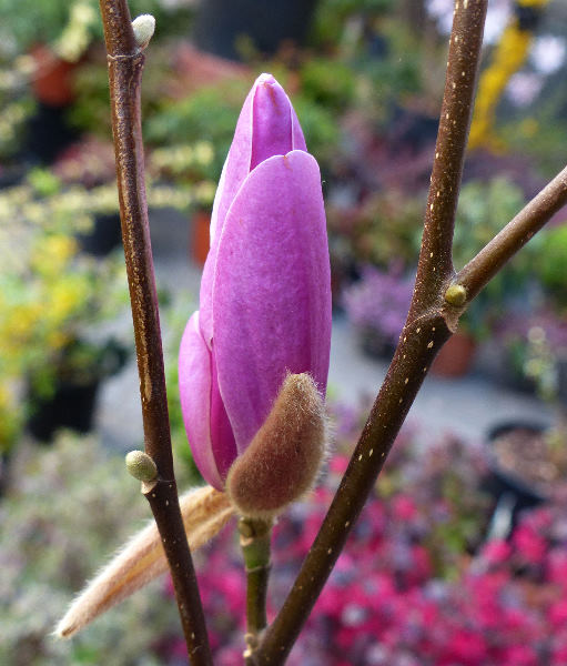 Magnolia kobus DC. 'George Henry Kern'
