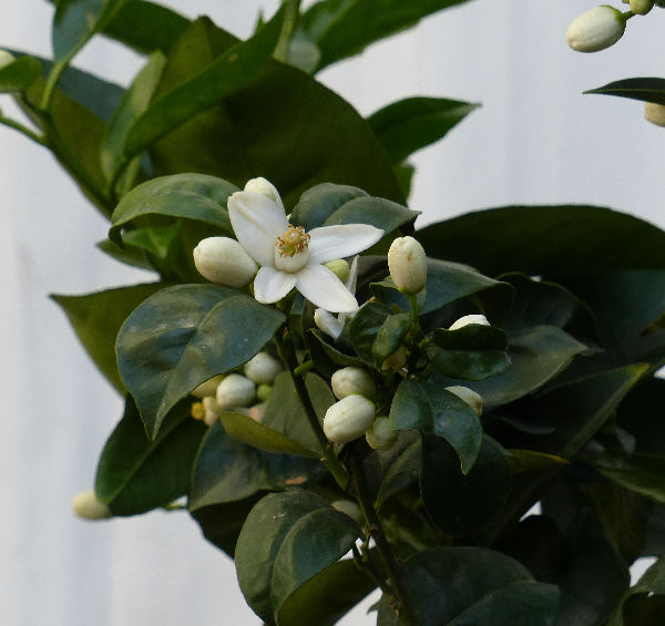 Citrus x sinensis (L.) Osbeck 'Sanguinello'