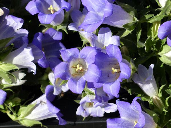 Campanula 'Blue Mary Mee ®'