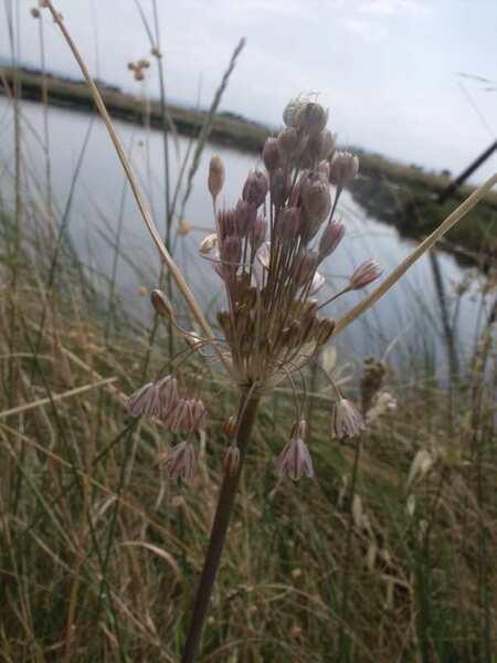 Allium savii Parl.