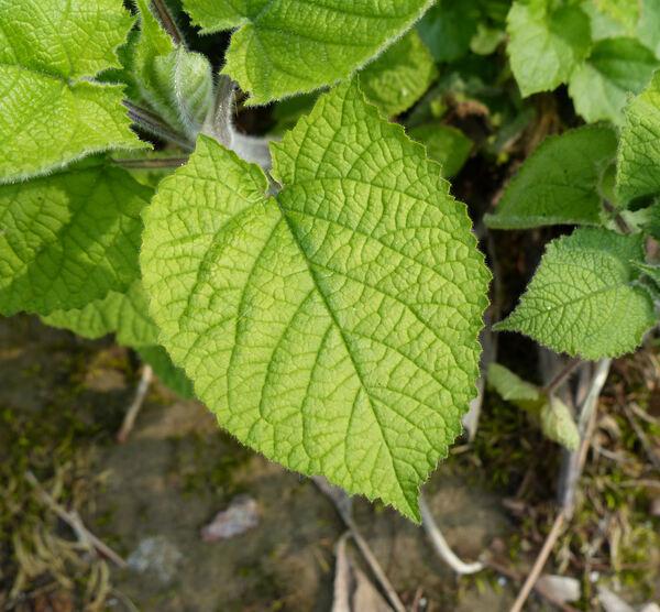 Salvia koyamae Makino