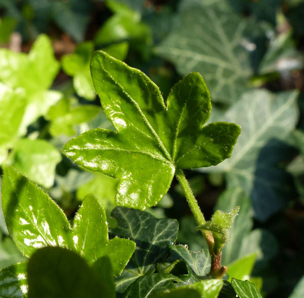 Hedera helix L. 'Dovers'