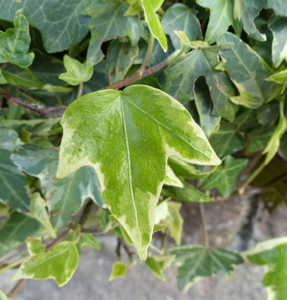 Hedera helix L. 'Mini Adam'