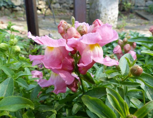 Antirrhinum majus L. subsp. majus