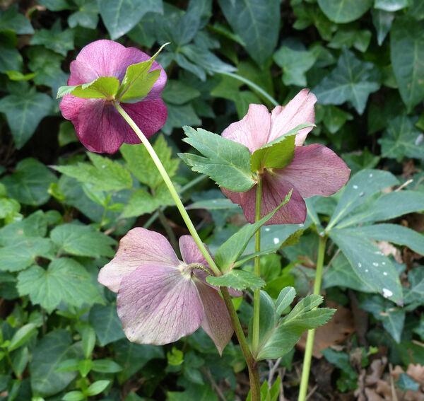 Helleborus orientalis Lam. 'Purple'