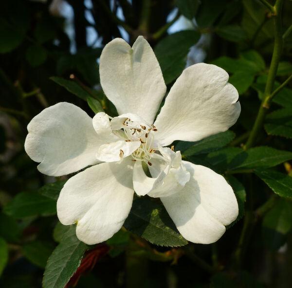 Rosa 'Purezza'