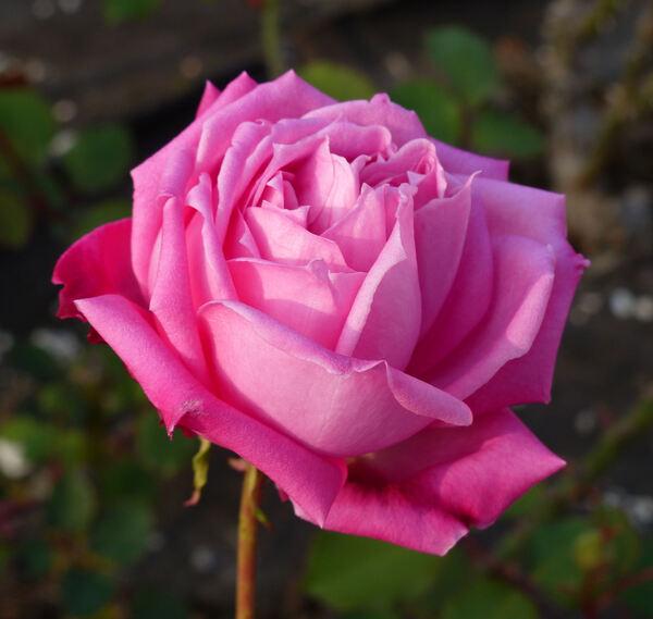 Rosa 'Odette Foussier'