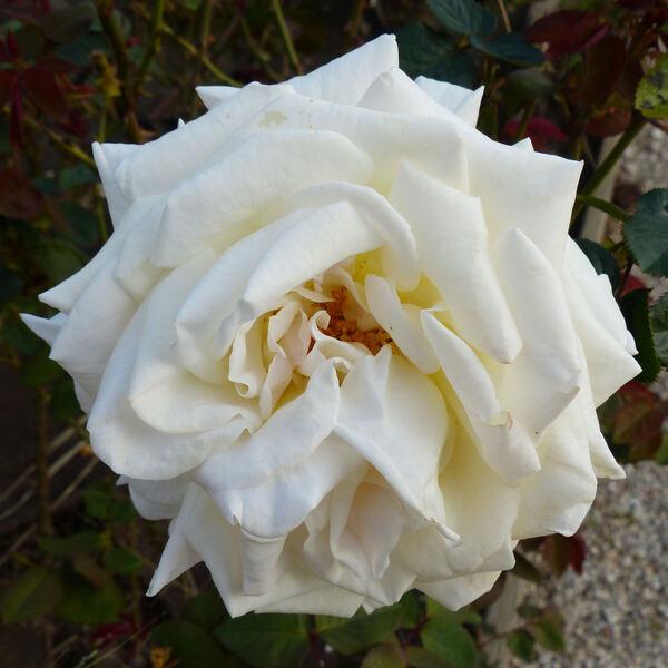Rosa 'Jardins de Bagatelle ®'