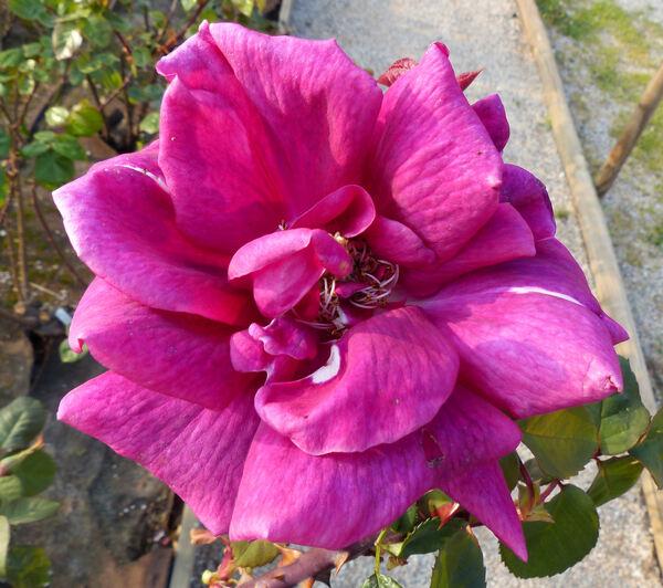 Rosa 'Ljuba Rizzoli'