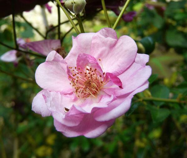 Rosa 'Olympus ®'