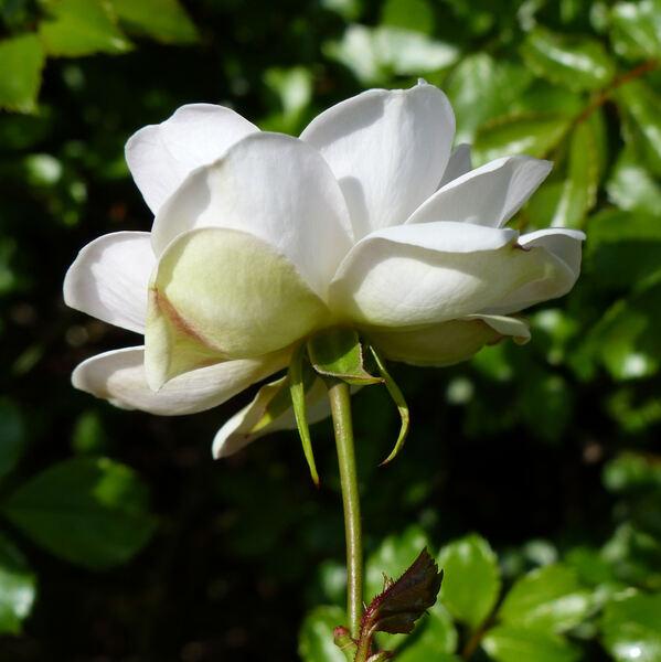 Rosa 'Diamant ®'