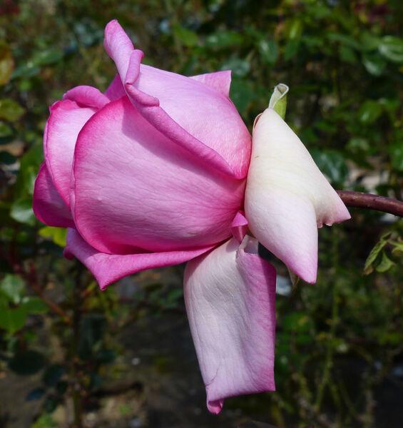 Rosa 'Wimi ®'