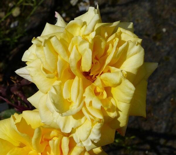 Rosa 'Primo Sole ®'