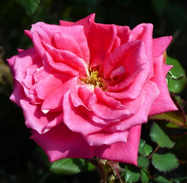 Rosa 'Bohemia'