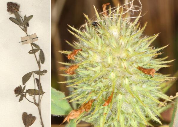 Trifolium echinatum M.Bieb.