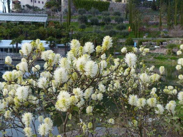 Fothergilla gardenii L.