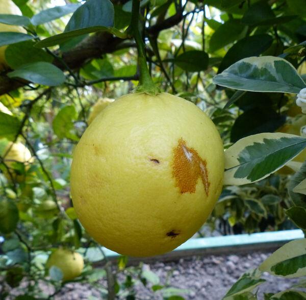 Citrus 'Lipo'
