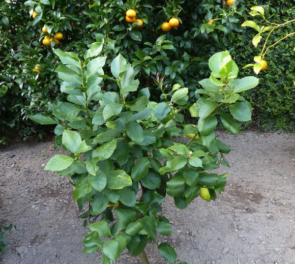 Citrus x limon (L.) Osbeck 'Cuoriforme'