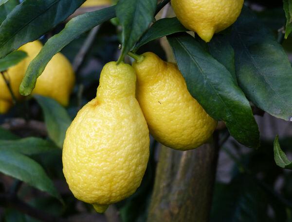 Citrus x limon (L.) Osbeck 'Salicifolia'