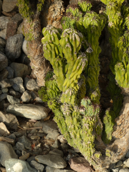 Cereus peruvianus (L.) Miller 'Monstruosum'