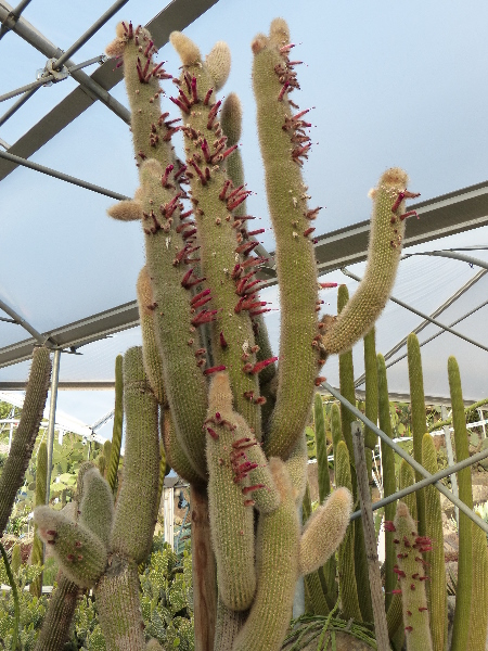 Cleistocactus strausii (Heese) Backeb.