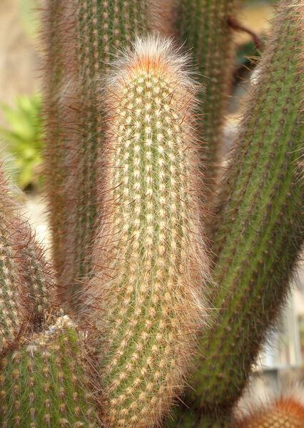 Cleistocactus x Oreocereus 'Pallanca'